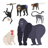 Different types of monkeys rare animal vector set. Royalty Free Stock Photography