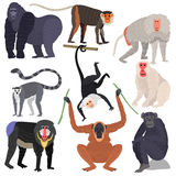 Different types of monkeys rare animal vector set. Stock Image
