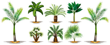 Different types of palm trees. Illustration Stock Photos