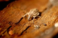 Different types of pest beetle, weevil beetle. royalty free stock images