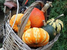 Different types of pumpkin in front bicycle basket stock images