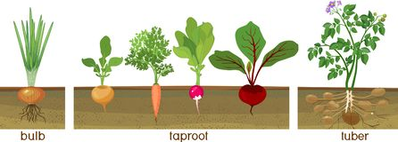 Different types of root vegetables growing on vegetable patch. Plants showing root structure below ground level. Three different types of root vegetables growing vector illustration
