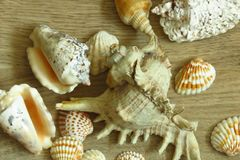 Different types of seashells on wooden floor. Grey and white silver lips seashells. White and yellow seashells stock images