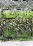 Different types of seaweed growing on a harbour wall Royalty Free Stock Photography