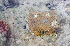 Different Types of Underwater Coral Reef Colonies - Poritidae - Abstract Marine Life Background - Andaman Nicobar Islands. This is a photograph of different royalty free stock photo