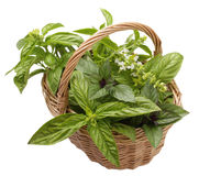 different varieties of basil Stock Image