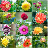 Different varieties of dahlias. Dahlias in garden. Different varieties of dahlias Stock Image