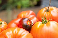 Old and forgotten varieties tomatoes, harvest stock photography