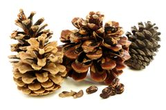 Different varieties of pine cones with seeds. Royalty Free Stock Images