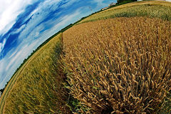 Different varieties of wheat in Fisheye view Royalty Free Stock Photography