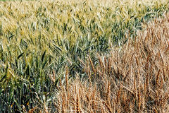 Different varieties of wheat 2 Royalty Free Stock Photography