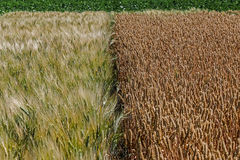 Different varieties of wheat  Royalty Free Stock Photos