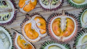 Different variety of durian fruit that can be found in Borneo, Indonesia royalty free stock photo