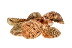 Different variety of sea clams - shells on white background. Stock Photo
