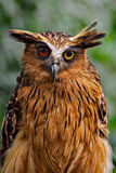 Different view. Owl with two different colour eyes, i think the red one are damaged stock photography