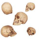 Different view of skulls Royalty Free Stock Image