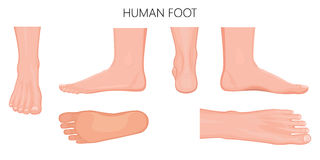 Different views of a human foot on white background_Anatomy Stock Images