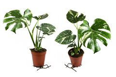 Free Different Views Of Exotic White Sprinkled Rare Variegated Tropical `Monstera Deliciosa Thai Constellation` House Plant Stock Image - 178611611