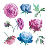 Different watercolor peonies romantic collection. Set of watercolor red and blue peonies isolate on white background Stock Images