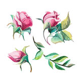 Different watercolor roses romantic collection. Set of watercolor romantic roses isolate on white background Royalty Free Stock Photo