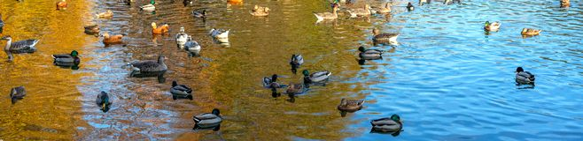 Different wild ducks at the pond. Panoramic shooting. stock photos