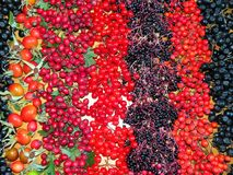 Colorful autumn wild berries. Different wild ripe autumn berries, Lithuania Royalty Free Stock Photos