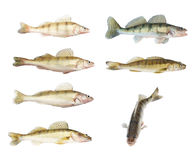 Different zander or pikeperch collection Royalty Free Stock Photography