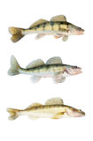 Different zander or pikeperch collection isolated Stock Images