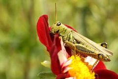 Differential Grasshopper Royalty Free Stock Images