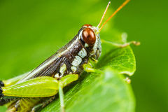 Differential Grasshopper Stock Photo