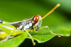 Differential Grasshopper Royalty Free Stock Photography