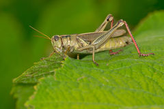 Differential Grasshopper Stock Images