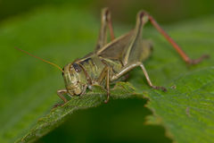 Differential Grasshopper Royalty Free Stock Image