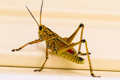 Differential Grasshopper Royalty Free Stock Photo