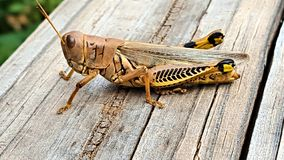 A Differential Grasshopper on old wood railing stock image