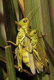 Differential Grasshoppers Stock Image