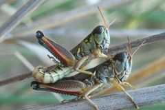 447 Differential Grasshoppers Mating. Two differential grasshoppers in the process of mating on the ground of the Sonoran Desert in Arizona stock images