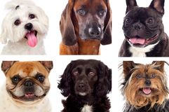 Differents dogs looking at camera Royalty Free Stock Photo