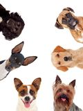 Differents dogs looking at camera. Isolated on a white background Stock Image