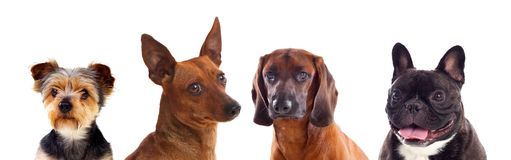 Differents dogs looking at camera royalty free stock images