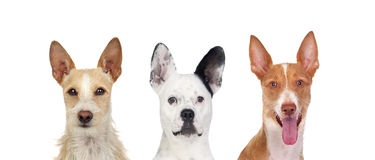 Differents dogs looking at camera with its big ears up royalty free stock photo