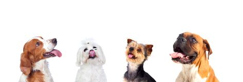 Differents dogs looking up. Isolated on a white background Royalty Free Stock Image