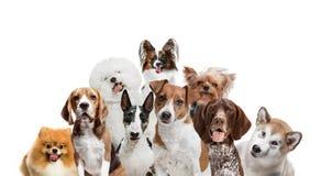 Differents hundkapplöpning som ser kameran som isoleras på en vit bakgrund arkivbilder