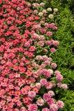Differenza di colore, colore dei fiori Fotografia Stock Libera da Diritti