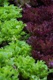 Differenza di colore, colore dell'insalata Fotografia Stock Libera da Diritti