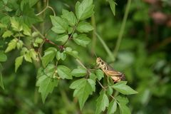 Differenziale Heuschrecke auf kleinen grünen Blättern stockfoto