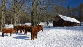 Difficoltà per il bestiame dell'altopiano Immagine Stock