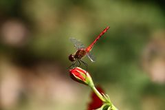 Red dragonfly. On a difficult background there is a bud of a red flower on which the red dragonfly sits Stock Images