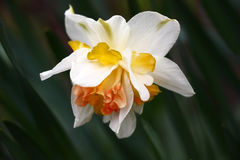 Difficult flower of a narcissus. Narcissus flower difficult under the form and color. A background from leaves with an indistinct contour Royalty Free Stock Photo