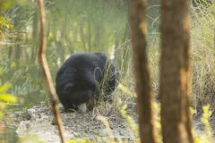 Sloth Bear Foraging by Water. A difficult subject to photograph because of constant foraging motion amongst trees, this small black bear seen between the trees royalty free stock photo